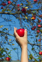 Woman's hand is taking down red apple from tree