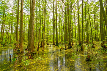 Cypress Swamp in Spring