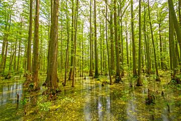 Cypress Swamp in Spring