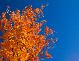 Bright Orange Fall Leaves on Blue Sky