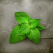 Fresh mint leaves, old style