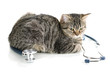Cat with stethoscope isolated on white