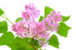 Blooming of pink lilac (Syringa)