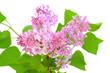 Blooming of pink lilac (Syringa)