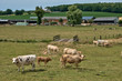 Normandie, cows in a meadow in Touffreville