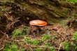 braune weisse pilze im moss wald walpilze natur closeup