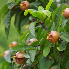 Mispel am Baum - common medlar on tree 03