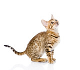 purebred Bengal cat looking up. isolated on white background