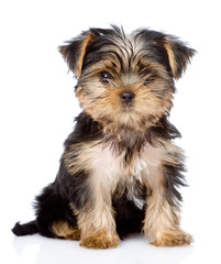 Yorkshire Terrier puppy sitting in front. isolated on white