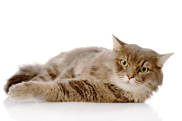Severe cat. Isolated on white background