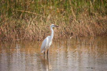 African Withe Heron in water, Botswana