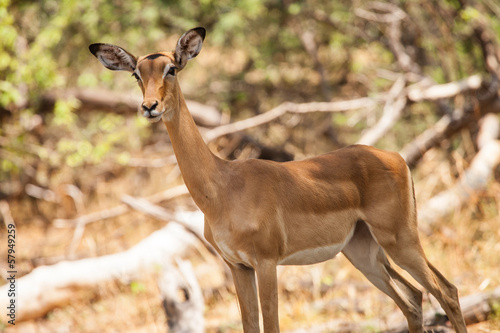 Impala female in reserve of Botswana