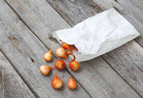 Tulip bulbs and emptied from the bag on a wooden table