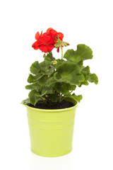 Red Geranium plant in green pot