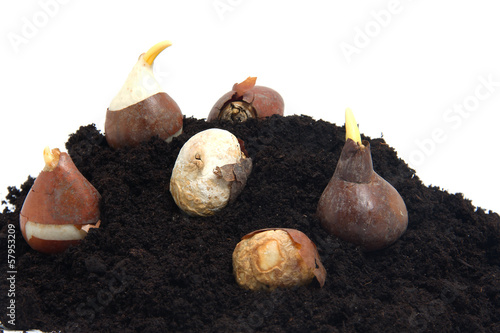Pile of black garden soil and flower bulbs over white background