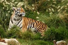 Tiger ruhen