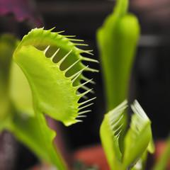 Flytrap - Dionaea muscipula - Plant catch insect