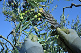 harvesting arbequina olives in an olive grove in Catalonia, Spai