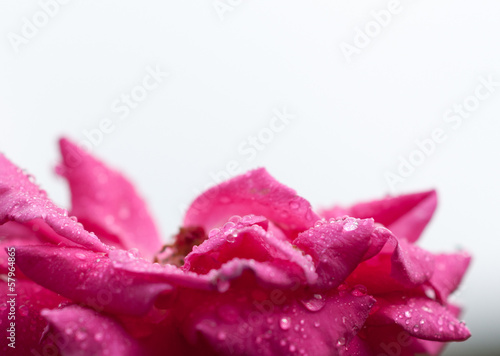 Pink blossom with rain drops in front of white background © XtravaganT
