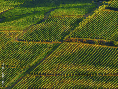 rows of grape vines in the Chianti region of Tuscany, Italy