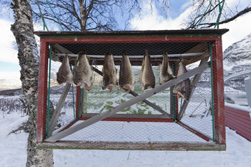 Cod stockfish. Norwegian arctic.