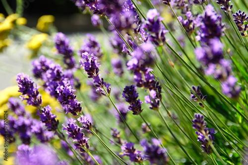 Lavendel - 57970024