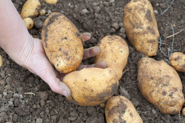 farmers hand holding some freshly harvested potatoes