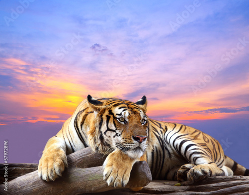 Staande foto Afrika Tiger looking something on the rock with beautiful sky at sunset