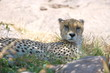 Cheetah resting in the shadfe