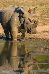 Portrait of a extremely rare white Rhinoceros