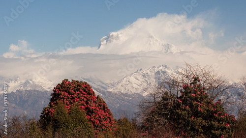 Dhaulagiri peak (8167 m) with blossoming rhododendrons.