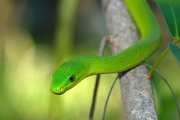 Shot of a Green Mamba on a branch