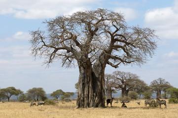 Giant Baobab tree with wildlife taking shelter