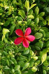 Beautiful pink frangipani flower