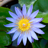 Closeup image of Lotus Plant on Water