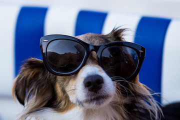 Dogs wearing a pair of sunglasses