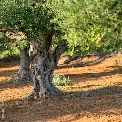 Keuken foto achterwand Olijfboom Olive trees