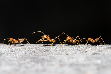 Row of orange working ants