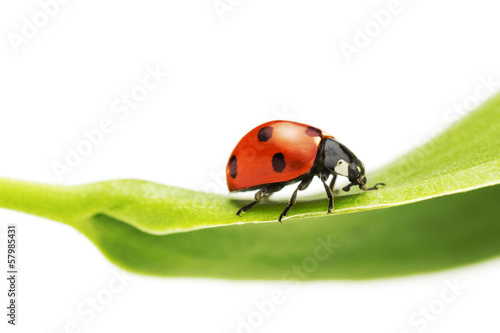 ladybug on a green leaf