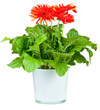 Red Gerbera in pot