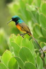 Kolibri auf blatt