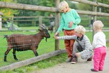 Three kind kids feeding goat in a children farm  poster