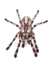 Tarantula spider, female (Poecilotheria regalis)