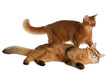 Two somali cats isolated on white background