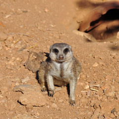 meerkat suricate animal closeup