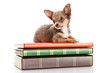 dog on books.   Chihuahua puppy