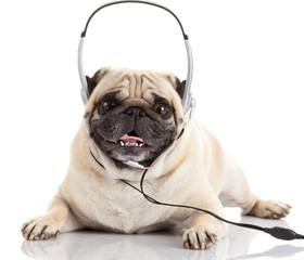 dog listening to music.  Pug Dog isolated on White Background