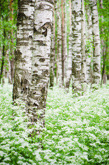 Tree trunks in a birch forest and wild flowers, close-up