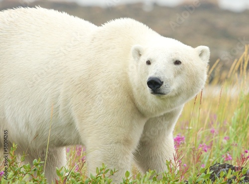 Wary Polar Bear in the grass