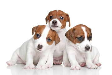 Jack Russell terrier puppies